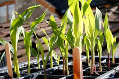 How to grow sweetcorn from seed