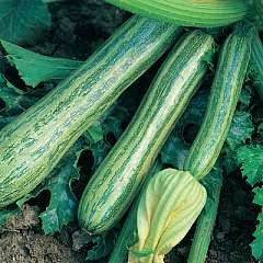 How to sow and grow zucchini from seed indoors