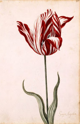 botanical illustration of tulip semper augustus