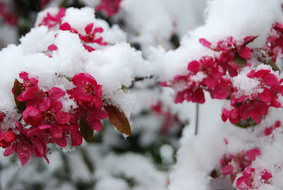 snow on red cherry blossom