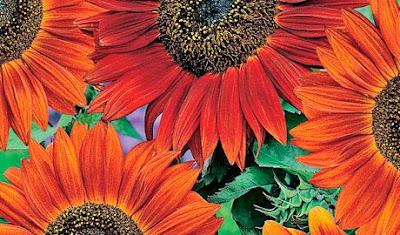 Burnt orange blooms of sunflower 'Velvet Queen'