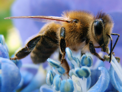 bee collecting pollen and nectar from blue flower