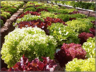Rows of purple and green frilled lettuce