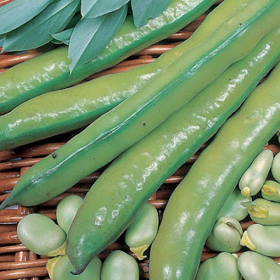 Broad bean 'Aquadulce Claudia' beans and bean pods in a wicker basket