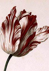 Tulip 'Semper Augustus' does it still exist?