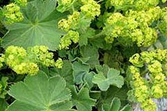 Plants for dry shade the garden of eaden ladys mantle is prized for its large leaves pleasant rounded growth habit and airy yellow flower clusters that appear late mightylinksfo