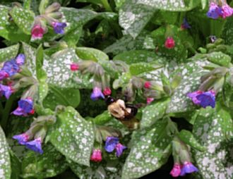 Plants for dry shade the garden of eaden commonly known as lungwort due to the plants medicinal uses throughout history a spring flowering perennial pulmonaria grows about 12 tall and 18 wide mightylinksfo