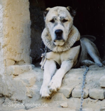 All About Dogs Breed Afghan Koochee