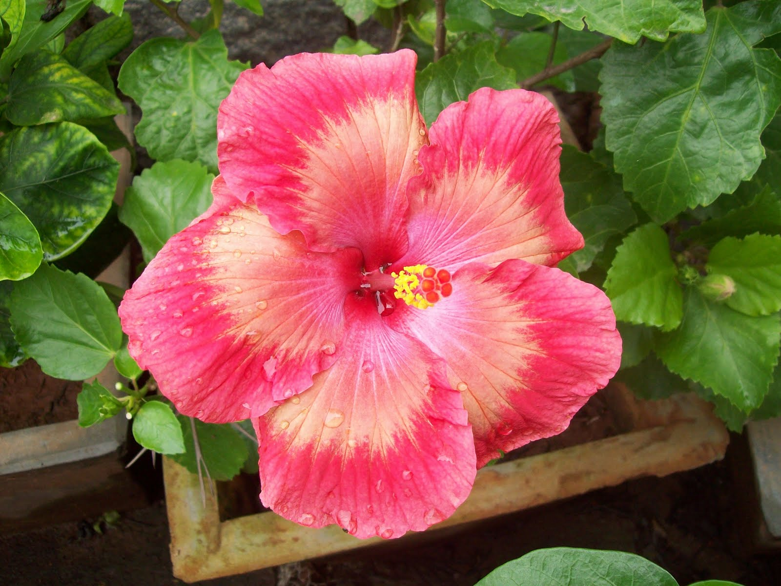 gardentropics  Today s Flowers   Hibiscus To see more flower from all over the world  please click on  http   flowersfromtoday blogspot com  This is also my contribution to  Noel s  The Hot