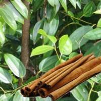 Manfaat Kegunaan Kayu Manis Untuk Berbagai Penyakit,tanaman kayu manis,batang kayu manis