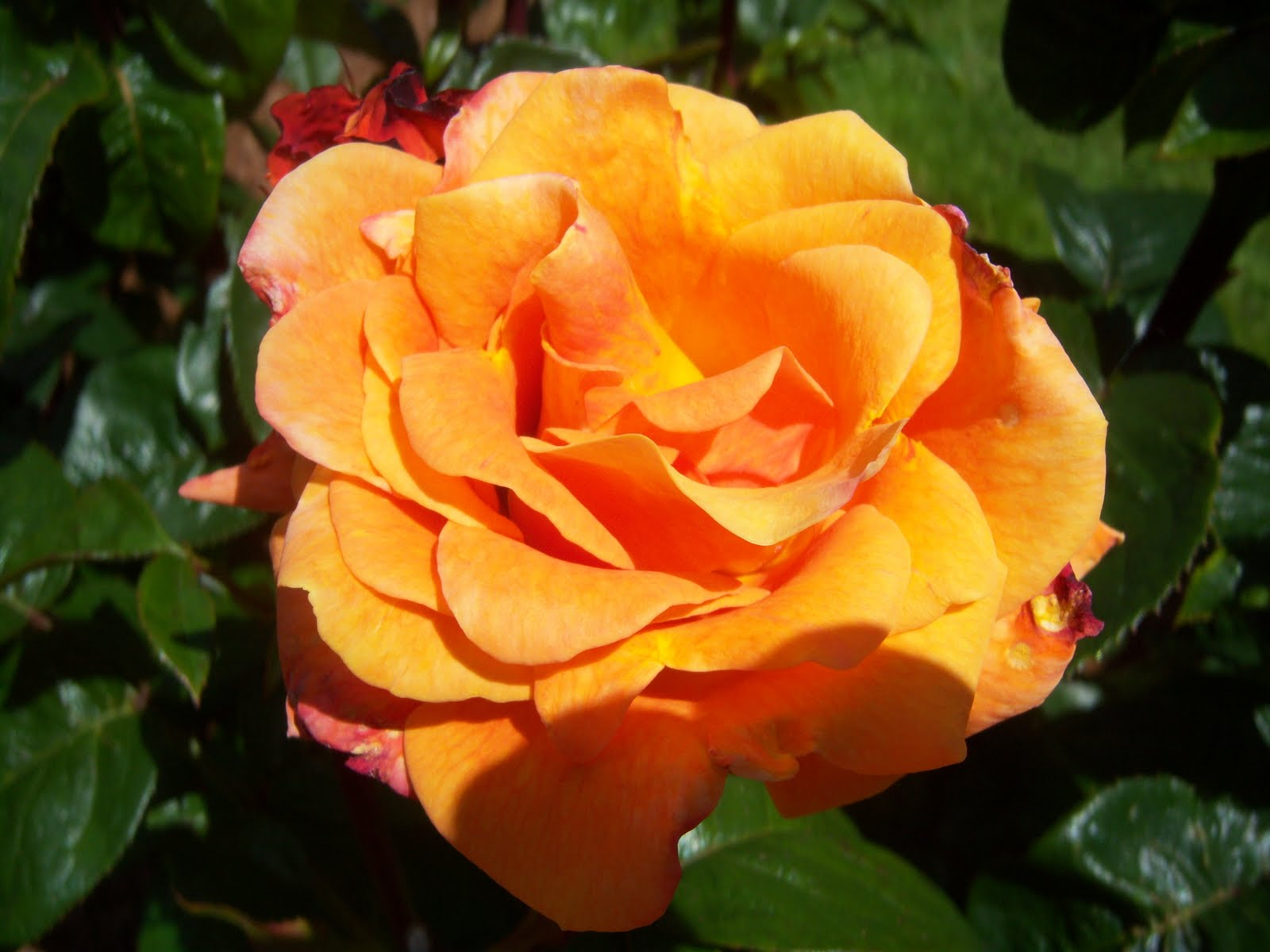 Searching for Rosebud: The Most Beautiful Rose Garden in ...