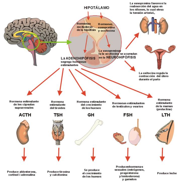 sistema endocrino sistema endocrino