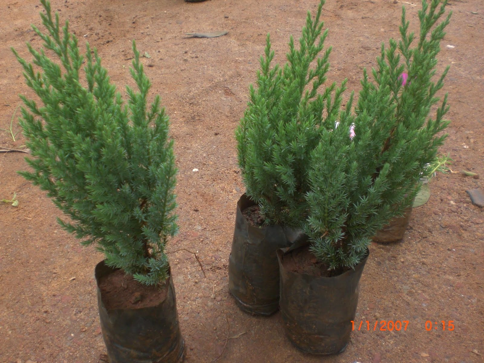 Variety Of Plants.: Cypress Plant