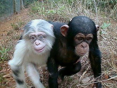 albino chimp