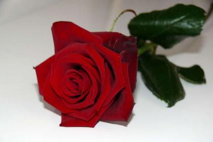 Tutti I Detti Nella Categoria Rosa Rossa Su Sfondo Bianco E Nero Su
