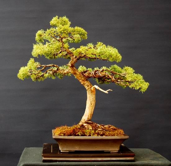 jupp s bonsai blog wacholder berarbeitet. Black Bedroom Furniture Sets. Home Design Ideas