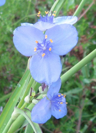 Florida Native Plant Society Blog Spiderwort Spring