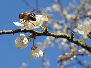 Bij bestuift bloem in de lente