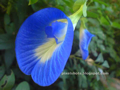 flower names, Clitoria ternatia, butterfly pea or blue pea, mussel-shell climber, pigeon wings,flower rescembling female sex organ,flower name from female clitoris,sexual flower,ayurvedic flower for treating sexual ailments,kakkadan,blue flowers of perennial plants,ornamental flowering herbs,conch shaped flower in the herbacious plant that belong to pea family,Fabaceae family or Leguminosae,papilionaceae,flower got its name Clitoria Tenatia from its similarity to human female organ,nitrogen fixing herbs,plants used for revegetation of soil