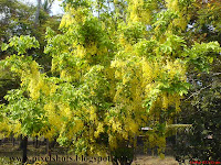 kerala flowers,flowering trees,Fistula,kanikonna,Golden Shower, Aaragwadha,Purging Fistula,golden-shower