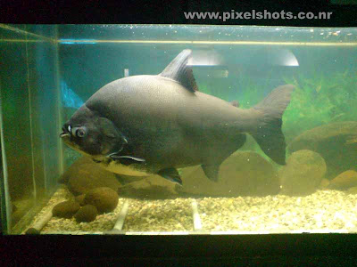 piranha fish in aquarium fish tank photographed from an aquarium store