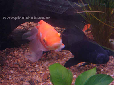 gold fish and black moor in aquarium fish tank,aquarium photography