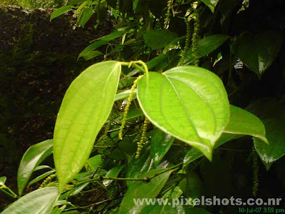 pepper plant photograph,fresh pepper plant with budding pepper wet in the rain photographed from kerala,black-gold-kerala,kerala-spices