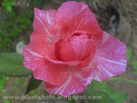 rose flower photo gallery