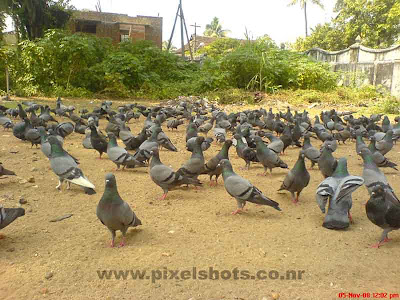 pigeons feeding food,large folk of pigeons found near jain temple mattancherry kerala,jain-temple-pigeons-cochin