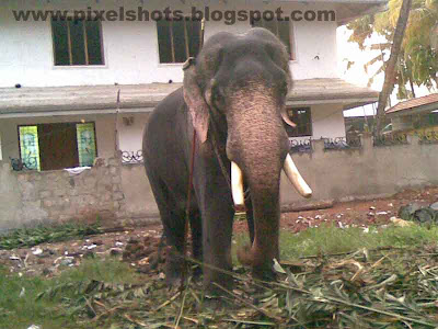 big elephant of kerala india named as chandrasekharan,biggest-elephants,ideal-elephants