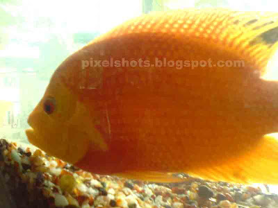 aquarium-fishes-photography,Big-golden-fish-in-aquarium,orange carp fish
