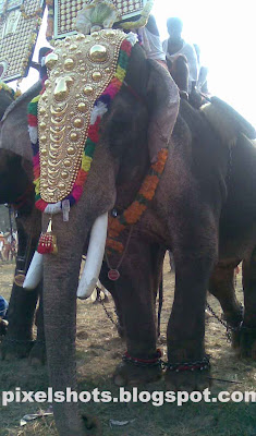 kerala-elephant-names,asian elephants in india kerala domesticated in temples of kerala for temple celebrations,elephant named kutti shankaran just before celebrations of pooram, the temple festival