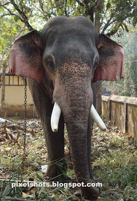 elephants photography from kerala,elephant of kerala named nandhan,kerala-temple-elephants