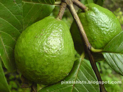 guava fruits pictures,raw guava in the gauva plant,peraykka,green gauva raw fruits,perayka,fruits kerala