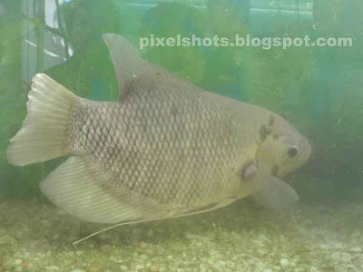 giant gourami side view photo from fresh water aquarium fish tank,gouramies pictures,images of tropical fresh water fish gourami,aquarium fishes photos,image of gourami,aquarium fish exhibition