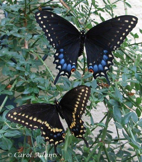 Golden Plains Area Horticulture: Black Swallowtail Caterpillar