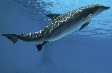 Dolphin Beranak