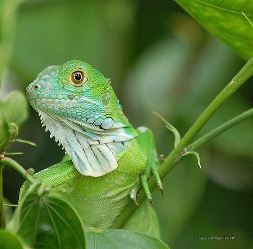 The Baby Green Iguana :: Reptilia Mania - photo#1