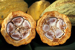 Cocoa beans—the source of chocolate— in a cacao pod