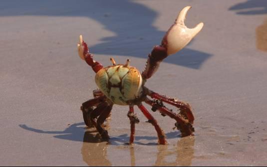 Resultado de imagem para caranguejos