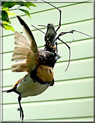 cabronsito fressen die zweite spinne frisst vogel in. Black Bedroom Furniture Sets. Home Design Ideas