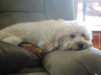 Daiseys Doodles Seattle F1b Mini Goldendoodles At 2 Weeks