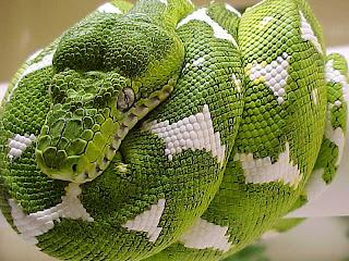The Jungle Store Animal Facts Heat Seeking Boa Constrictors