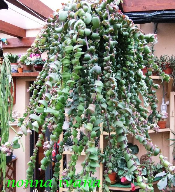 Piante grasse forme strane giugno il mio giardino fiorito for Piante grasse succulente