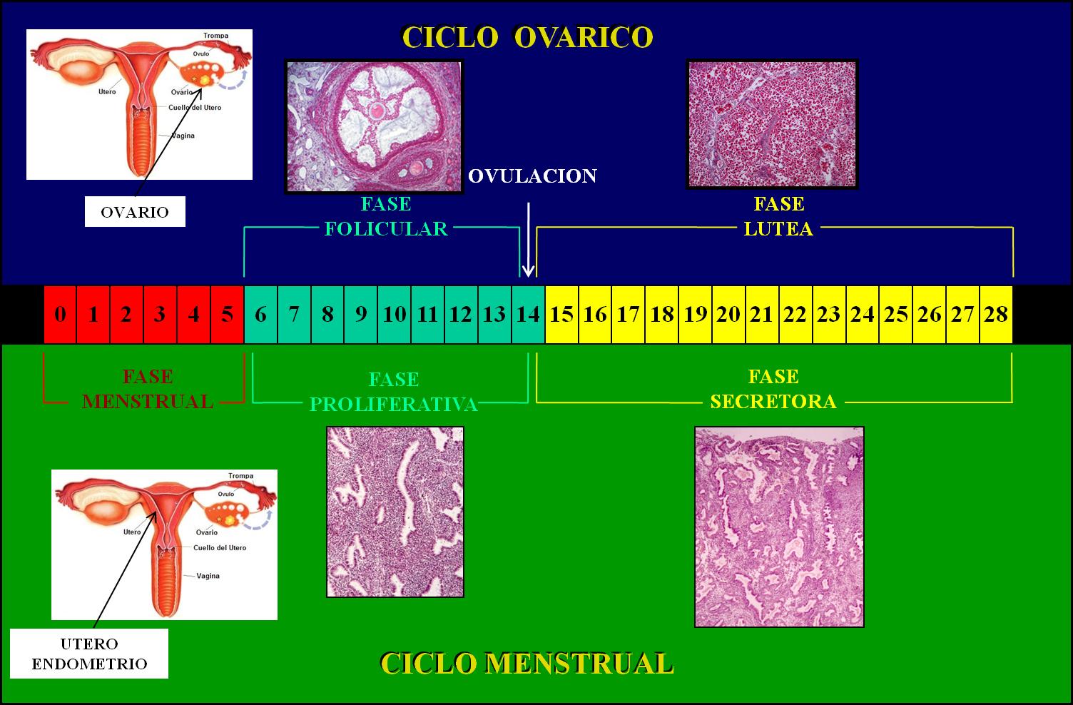 Como funciona el ciclo menstrual y la ovulacion