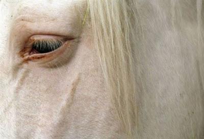 Acercamiento cara caballo blanco