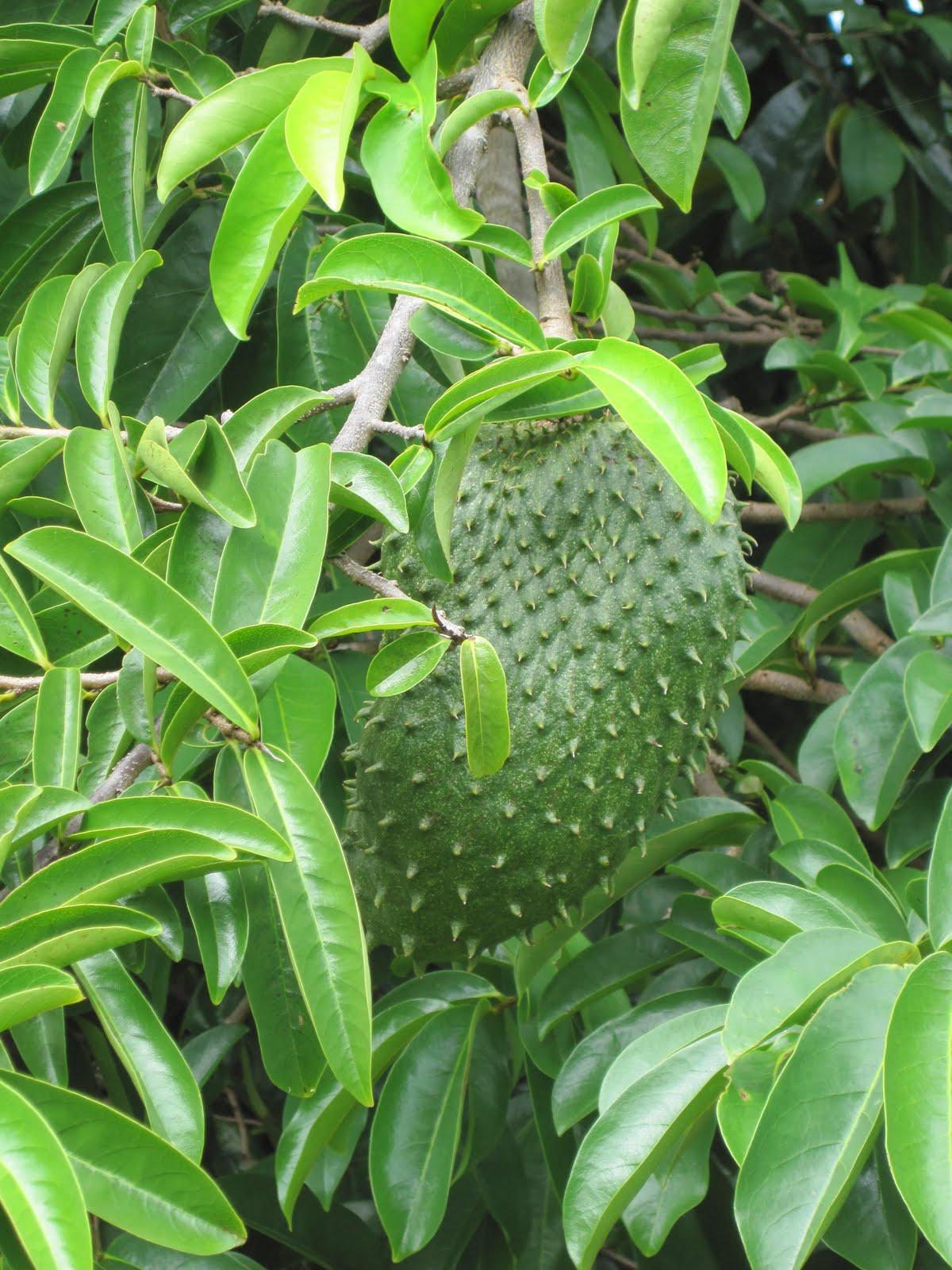 Graviola - Amazing Plant That Has Declared War On Cancer ...  |Guyabano Tree
