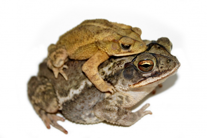 how do frogs have sex