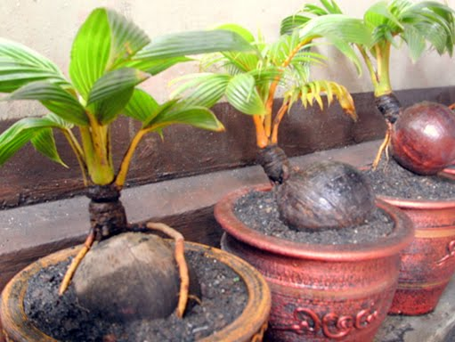 The Random Science Agri Tech Coco Bonsai