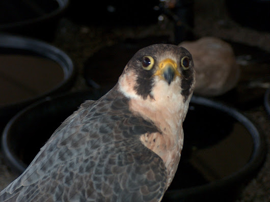 Peregrine Falcon Speed, Explained